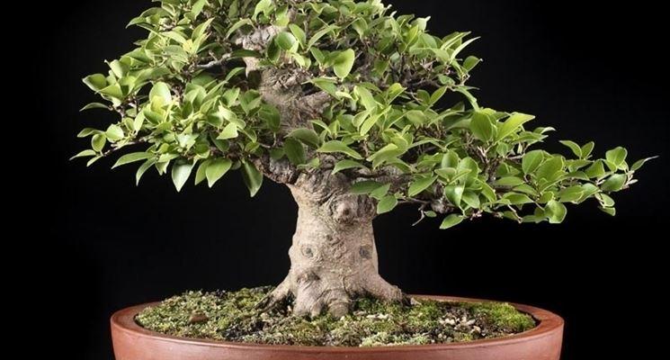 potare un bonsai di ficus