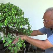 potare un bonsai ficus