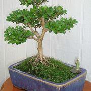 rinvaso del bonsai ficus-1