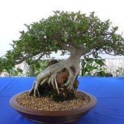 rinvaso del bonsai ficus-2