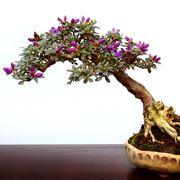 rinvaso del bonsai ficus-4