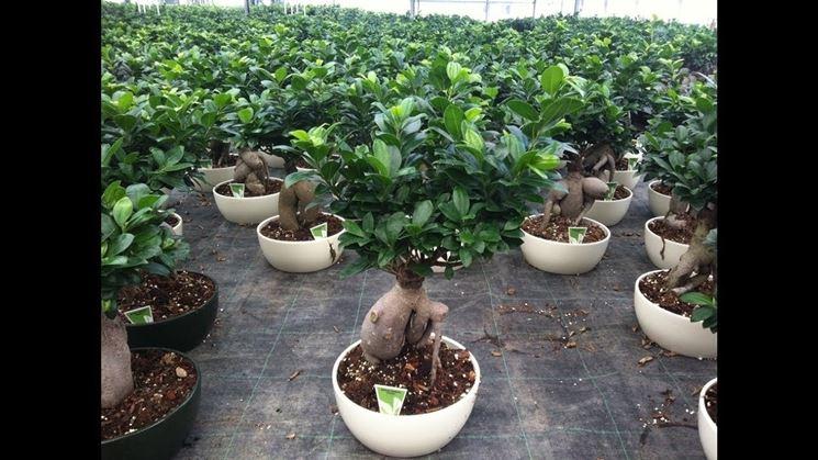 rinvaso del bonsai ficus-5