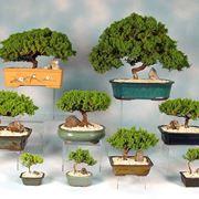 rinvaso del bonsai ficus-6