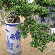 rinvaso del bonsai ficus