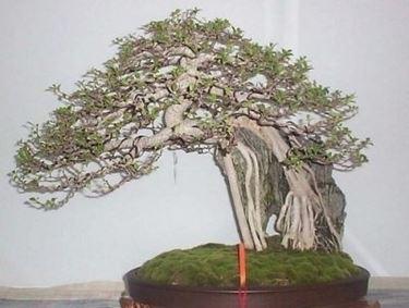 rinvaso di un bonsai ficus
