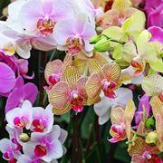 coltivazione orchidee in vaso-2