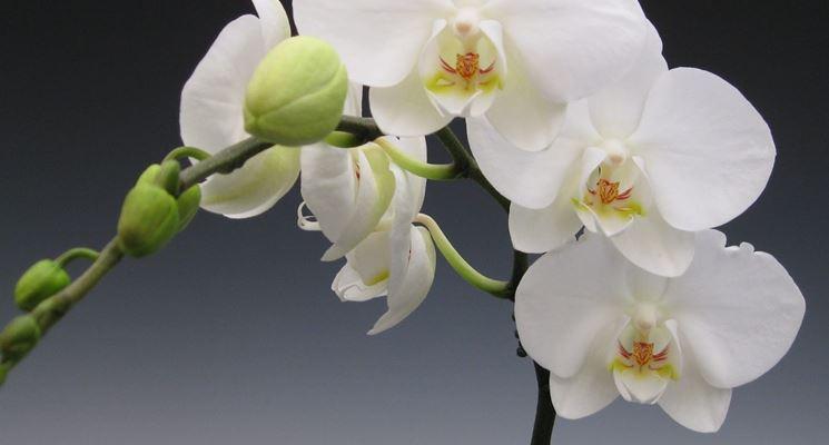 coltivazione orchidee in vaso-3
