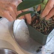 coltivazione orchidee in vaso-4