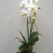 coltivazione orchidee in vaso-5