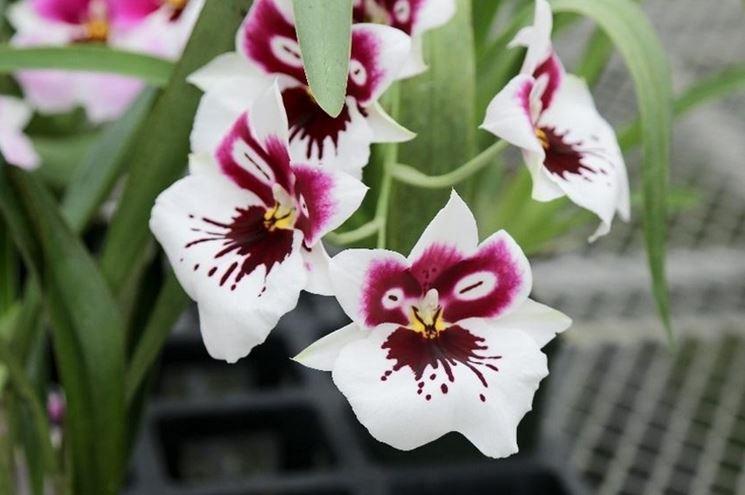 coltivazione orchidee in vaso-6