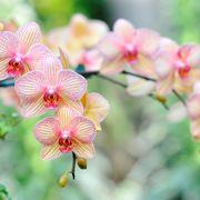 coltivazione orchidee in vaso-7