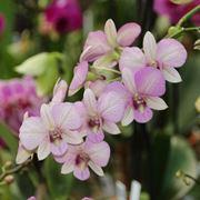 coltivazione orchidee in vaso-8