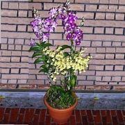 coltivazione orchidee in vaso