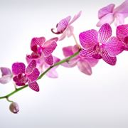 concime orchidee-7