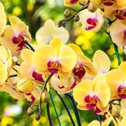 concime orchidee-8