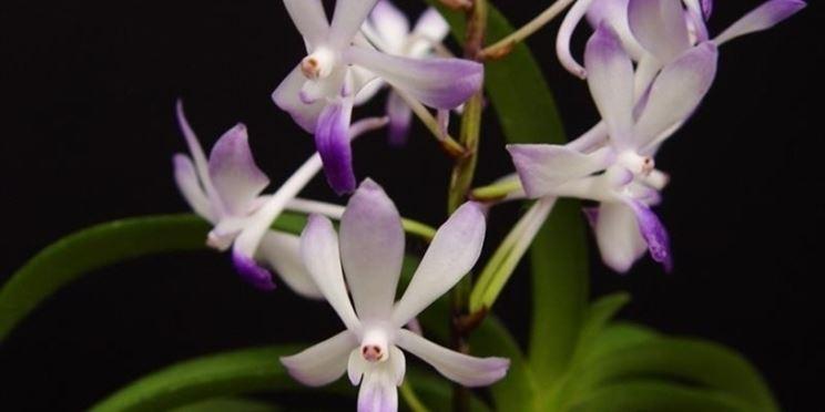 Cura orchidee in casa l 39 habitat coltivazione orchidee for Orchidee in casa
