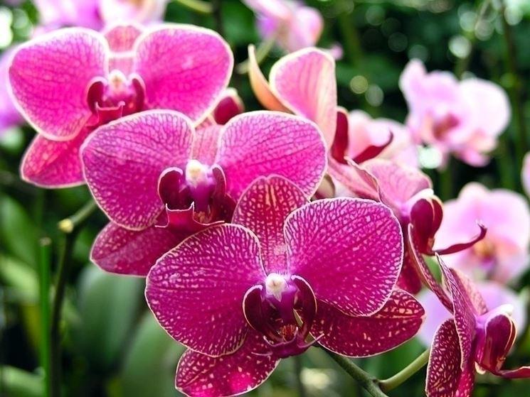 L'importanza dell'innaffiatura di un'orchidea