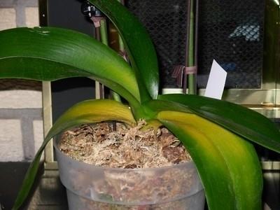 Tecniche Per Innaffiare Un Orchidea Coltivazione Orchidee