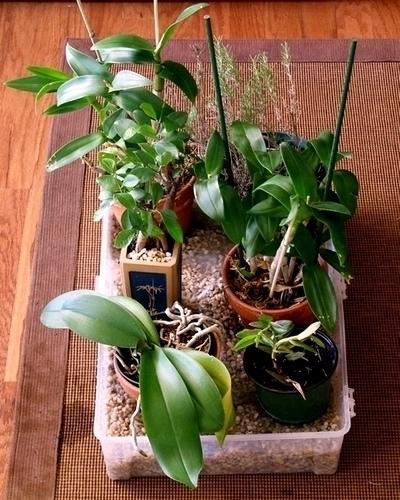 innaffiare orchidea coltivazione orchidee innaffiare