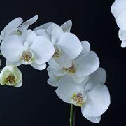 malattie orchidee-8