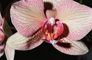 malattie orchidee-9