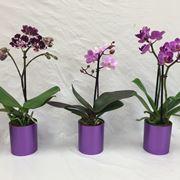 moltiplicazione orchidee-3