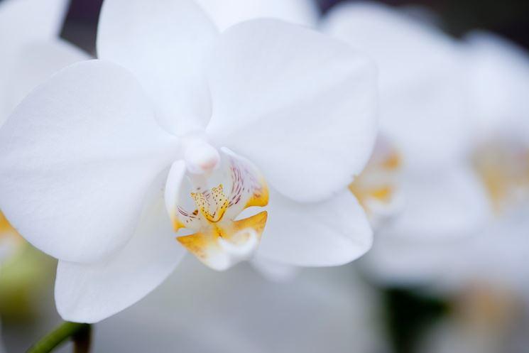 moltiplicazione orchidee-7