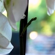 orchidea potatura-4