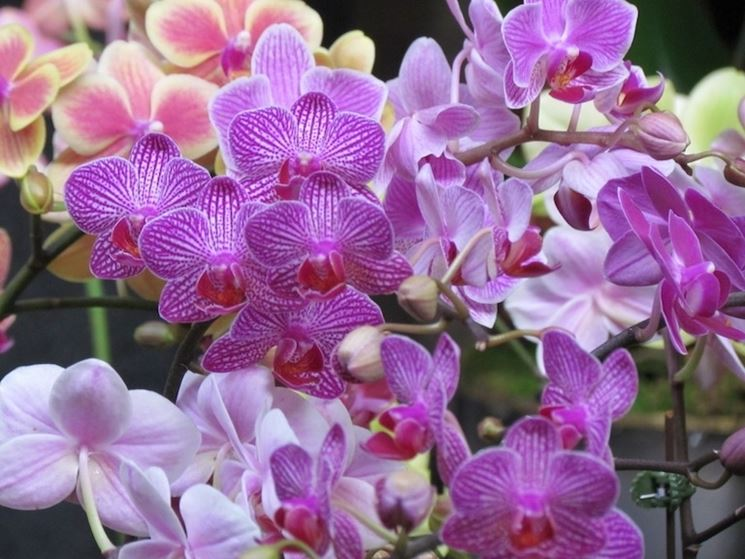 orchidee in casa-4
