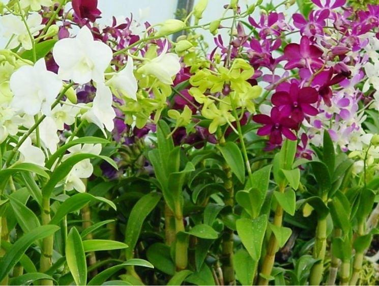 Come curare le orchidee in casa coltivazione orchidee for Orchidee in casa