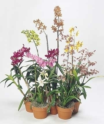 Consigli sulle orchidee in casa coltivazione orchidee for Orchidee in casa