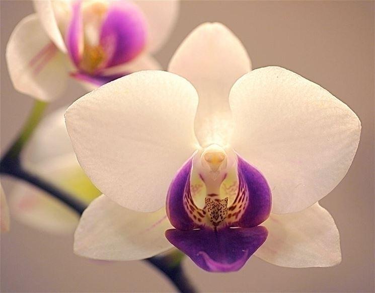 I parassiti che attaccano le orchidee