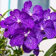 parassiti orchidee-4