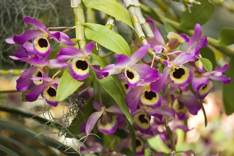 parassiti orchidee-5