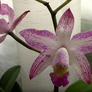 parassiti orchidee-9