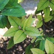 carenza di ferro foglie