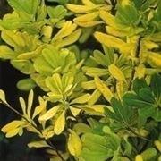 Piante gialle-4