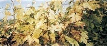 Piante gialle-5