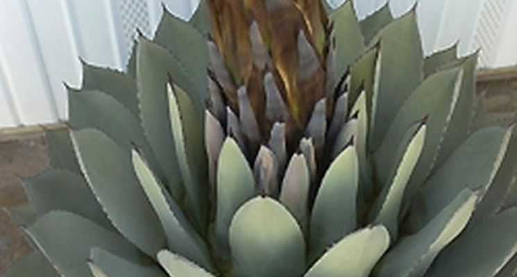 Agave (Agavaceae)