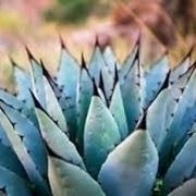 Agave come dolcificante