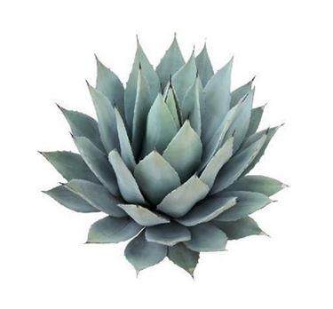 Altri utilizzi dell'agave