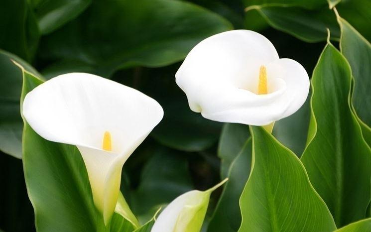 Calla in giardino o in vaso