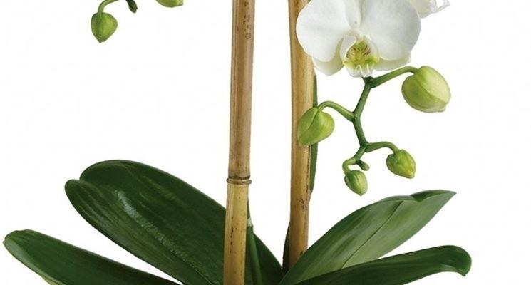 Coltivare le orchidee piante appartamento coltivare le - Orchidee da appartamento ...