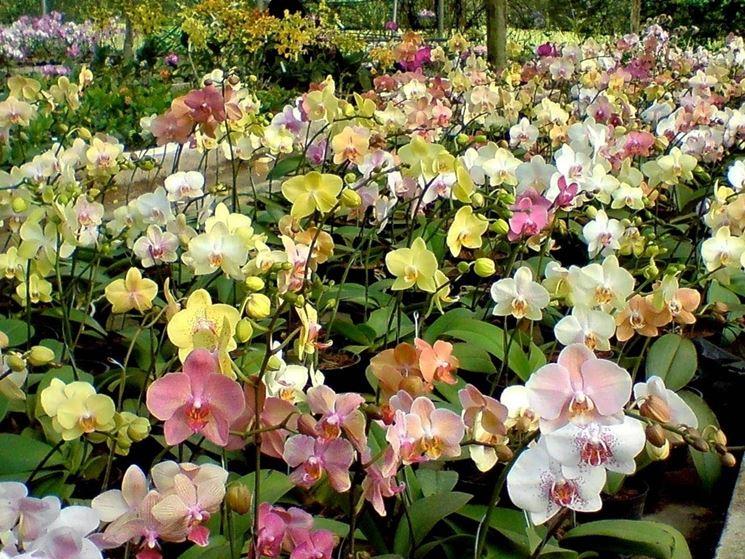 Coltivazione orchidee