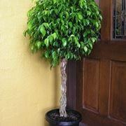 Come coltivare il Ficus ginseng