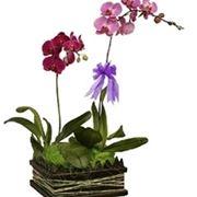 Composizioni di più varietà di orchidea