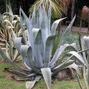 Domanda : agave afflosciata