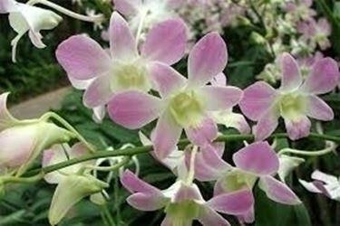 Domanda: come rinvaso le orchidee?