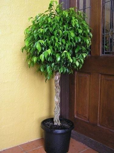 Domanda: Ficus australis