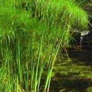 Domanda : Malattia o parassita papiro